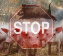 В Краснодарском крае зафиксирована вспышка африканской чумы свиней