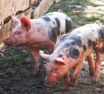 ЗАПРЕЩАЕТСЯ торговля на рынках свиньями и продуктами свиноводства не промышленной выработки.
