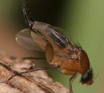 Многоядная муха-горбатка