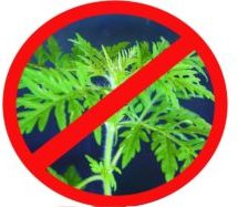 Амброзия полыннолистная — опасное карантинное растение!!!
