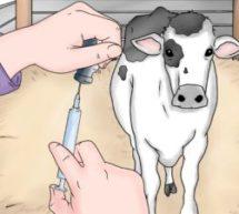 Информация о профилактике и диагностике бруцеллёза крупного рогатого скота