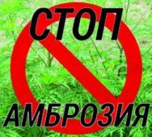 Внимание!!! Амброзия полыннолистная — опасный карантинный сорняк!
